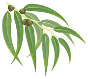 Eucalyptus branch. Vector illustration. Eucalyptus branch on white background. Vector illustration Royalty Free Stock Images