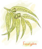 Eucalyptus branch. Watercolor style. Royalty Free Stock Images