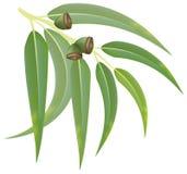 Eucalyptus branch on white background. Illustration Royalty Free Illustration
