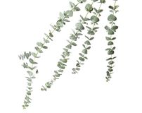 Eucalyptus branches with fresh green leaves. On white background stock photo
