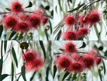 Eucalyptus Caesia Collage Stock Photo