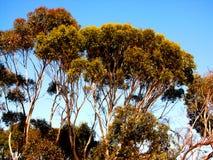 Eucalyptus Canopy. Photo taken of eucalyptus trees at Aldinga, South Australia royalty free stock image