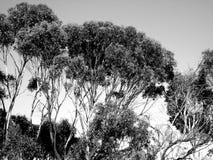 Eucalyptus Canopy. Black and white photo taken of eucalyptus trees at Aldinga, South Australia stock image