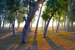 Eucalyptus clonale Immagine Stock Libera da Diritti