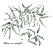 Eucalyptus d'aquarelle Ensemble peint à la main de branches avec des feuilles d'isolement sur le fond blanc Illustration naturell Photographie stock libre de droits