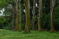 Eucalyptus d'arc-en-ciel Photos stock