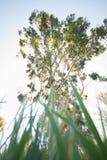 Eucalyptus dall'erba Fotografie Stock
