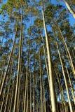 Eucalyptus de tonnelle Photo libre de droits
