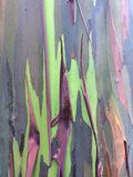 Eucalyptus Deglupta Rainbow Eucalyptus Tree Growing on Kauai Island in Hawaii. Stock Photography