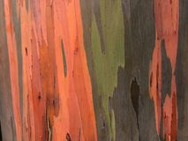 Eucalyptus Deglupta Rainbow Eucalyptus Tree Growing on Kauai Island in Hawaii. Royalty Free Stock Photo