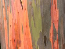 Eucalyptus Deglupta Rainbow Eucalyptus Tree Growing on Kauai Island in Hawaii. Royalty Free Stock Images