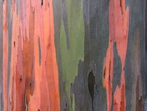 Eucalyptus Deglupta Rainbow Eucalyptus Tree Growing on Kauai Island in Hawaii. Royalty Free Stock Photography