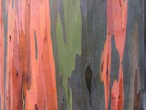 Eucalyptus Deglupta Rainbow Eucalyptus Tree Growing On Kauai Island In Hawaii. Stock Images