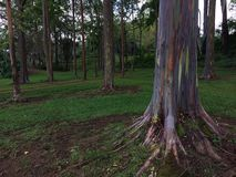 Eucalyptus Deglupta Rainbow Eucalyptus Trees Growing on Kauai Island in Hawaii. Stock Image
