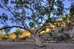 Eucalyptus in the desert. Eucalyptus tree in the dry wash at the mouth of Simpsons Gap in West MacDonnel National Park in Australia Royalty Free Stock Photo