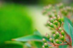 Eucalyptus di germogliatura Immagine Stock