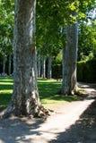 Eucalyptus en parc photos libres de droits