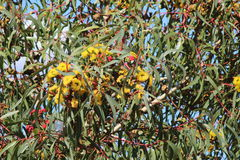 Eucalyptus Erythrocorys Stock Afbeelding