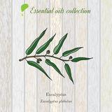 Eucalyptus, essential oil label, aromatic plant. Royalty Free Stock Image