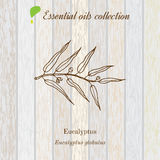 Eucalyptus, essential oil label, aromatic plant. Stock Photos