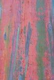 eucalyptus för 3 skäll Fotografering för Bildbyråer