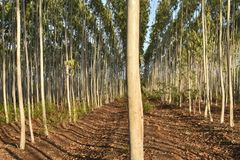 GREEN EUCALYPTUS FARM IN THE FOREST stock image