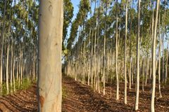 EUCALYPTUS FARM IN A ROW VIEW stock image