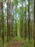Eucalyptus plantation in Brazil - trees farming plantation cellulose. Eucalyptus farming tree plantation in Brazil for paper production and firewoods stock image