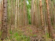 Eucalyptus plantation in Brazil - trees farming plantation cellulose. Eucalyptus farming tree plantation in Brazil for paper production and firewoods royalty free stock image