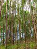 Eucalyptus plantation in Brazil - trees farming plantation cellulose. Eucalyptus farming tree plantation in Brazil for paper production and firewoods royalty free stock photography