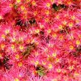 Eucalyptus fleurissant rose Photo libre de droits