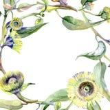 Eucalyptus floral botanical flowers. Watercolor background illustration set. Frame border ornament square. Eucalyptus floral botanical flowers. Wild spring leaf vector illustration