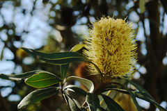 Eucalyptus flower Stock Photo
