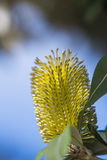 Eucalyptus flower Stock Photo