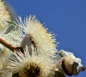 Eucalyptus flower Royalty Free Stock Images
