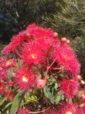 Eucalyptus flowers Royalty Free Stock Photography