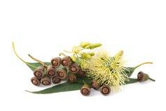 eucalyptus fotos de stock