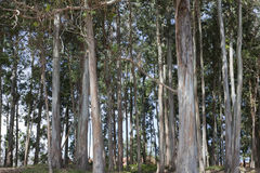 Eucalyptus forest Stock Photo