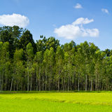 Eucalyptus forest. With paddy in the countryside of Thailand Royalty Free Stock Photography