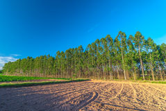In the Eucalyptus forest Royalty Free Stock Image