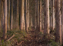 Eucalyptus forest Royalty Free Stock Images