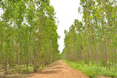 The eucalyptus forest Stock Photography