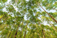 Eucalyptus forest Royalty Free Stock Photo