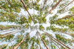Eucalyptus forest Stock Photos