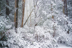 Eucalyptus forest covered in snow in winter, Australia Stock Images