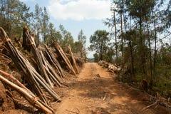 Eucalyptus forest in Ethiopia Stock Photos
