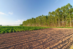 Eucalyptus Forest Grove with the sunset Stock Photo