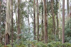Eucalyptus Forest High Country Victoria 2. A Eucalyptus Forest with mist in the Alpine Region of Victoria, Australia Stock Photos