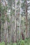 Eucalyptus Forest High Country Victoria 1 Stock Photos