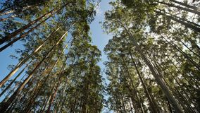 Eucalyptus forest near the city of Munar. India. Video on the move.